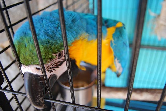 modrý papoušek v kleci
