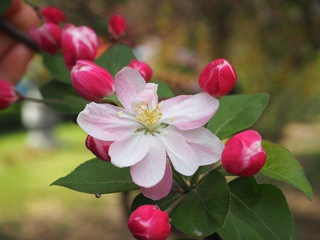 květ begónie