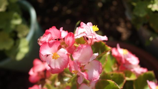 růžová begónie