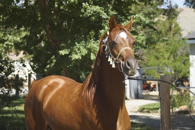 hnědý kůň bez sedla a pouze s ohlávkou
